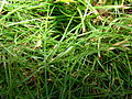Starr 070118-3481 Cyperus gracilis.jpg