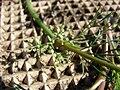 Starr 070215-4487 Ciclospermum leptophyllum.jpg