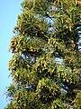 Starr 070519-7146 Araucaria columnaris.jpg