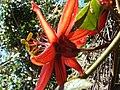 Starr 080219-3002 Passiflora vitifolia.jpg