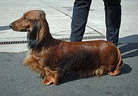 A long-haired standard dachshund