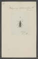 Stenocorus - Print - Iconographia Zoologica - Special Collections University of Amsterdam - UBAINV0274 033 12 0002.tif