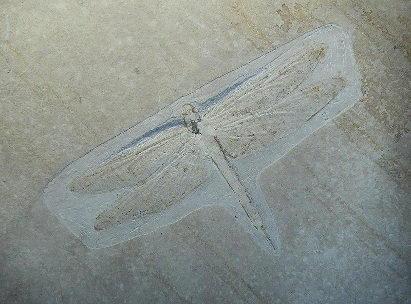 File:Stenophlebia amphitrite Berlin.jpg