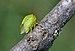 Stictocephala bisonia qtl6.jpg