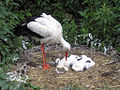 Stork fledglings (3609688271).jpg