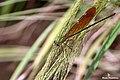 Stream Glory (Neurobasis chinensis) female. (37730868295).jpg