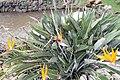 Strelitzia reginae 30zz.jpg