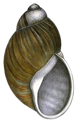 Strophocheilus popelairianus