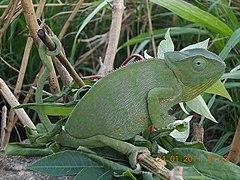 Camaleão na República Democrática do Congo