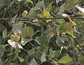 Styrax officinalis.jpg