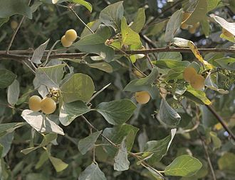Styrax - Styrax officinalis resin was mainly used in antiquity