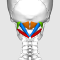 Suboccipital muscles09.png