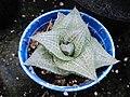 Succulent (6468506255).jpg