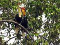 Sulawesi Knobbed Hornbill dm DSCN0933 v1.JPG
