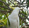 Sulphur-crested Cockatoo .Cacatua galerita. - Flickr - gailhampshire.jpg