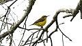 Sunbird, Olive-backed 10-23-16 2 (30616559404).jpg