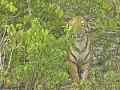 Sunderban Swamp Tigress.jpg