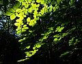 Sunlight on beech leaves in Gullmarsskogen ravine 1.jpg