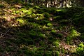 Sunlight spots on moss in Gullmarsskogen ravine.jpg
