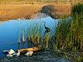 Sunrise Heron, Sierra Nevada, CA 2016 (32357284563).jpg