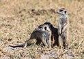 Suricatos (Suricata suricatta), parque nacional Makgadikgadi Pans, Botsuana, 2018-07-30, DD 31.jpg