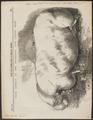 Sus scrofa domestica - 1861 - Print - Iconographia Zoologica - Special Collections University of Amsterdam - UBA01 IZ21900131.tif