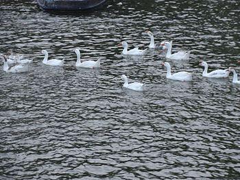 Swan at naki lake.jpg