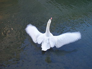 English: Mute Swan flapping its wings on the R...