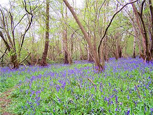 Charnwood Forest - Bluebells in Swithland Wood
