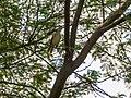 Sykes's Warbler (29774756373).jpg