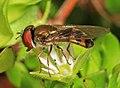 Syrphid - Platycheirus species, Julie Metz Wetlands, Woodbridge, Virginia (40007815702).jpg