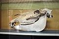 Takhi skull.jpg