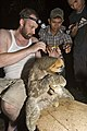 Taking samples of insects living on the back of a Three-toed Sloth.jpg