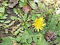 Taraxacum officinale - Commmon Dandelion at Chelela Pass during LGFC - Bhutan 2019 (5).jpg