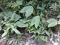 Taro plants in Kinshasa, DRC.jpg