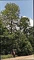Taxodium distichum in Berlin.jpg