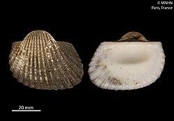 Tegillarca granosa (MNHN-IM-2012-24836) 001.jpeg