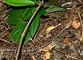 Terciopelo (Bothrops asper) (9561781487).jpg