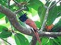 Terpsiphone paradisi. Indian paradise flycatcher 3.jpg