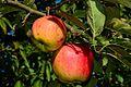 Teser, Apfelsorte.jpg