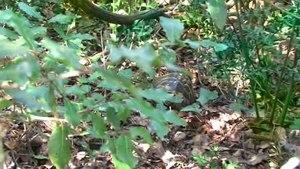 File:Testudo hermanni in habitat.ogv
