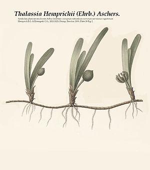 Thalassia (plant) - Image: Thalassia hemprichii