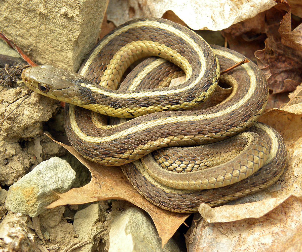wikipedia snake garter common sirtalis