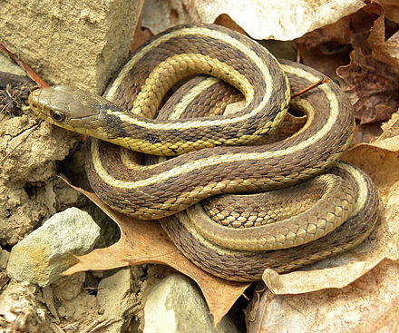 Common garter snake (Thamnophis sirtalis sirtalis) has evolved resistance to the defensive substance tetrodotoxin in its amphibian prey. Thamnophis sirtalis sirtalis Wooster.jpg