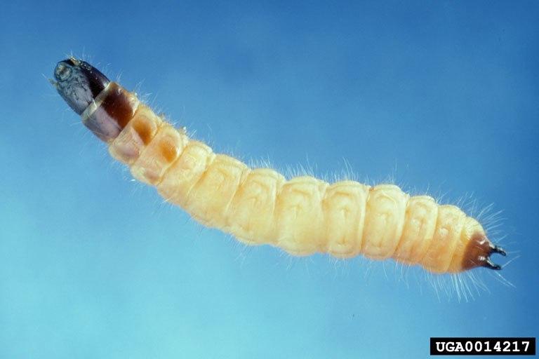 Thanasimus dubius larva