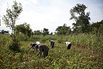 The Amukeni Community-based Association grows soybeans and sells nutritious soy products to the local school (7603955198).jpg