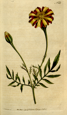 The Botanical Magazine, Plate 150 (Volume 5, 1792).png