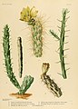 The Cactaceae (Plate VII) (6025947305).jpg