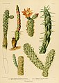 The Cactaceae (Plate XI) (6025948711).jpg