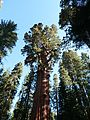 The General Sherman Tree - Flickr - S. Rae.jpg